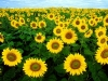 sunflower-hq-wallpapers-339