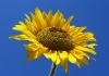 sunflower-hq-wallpapers-340