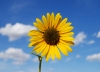 sunflower-hq-wallpapers-341