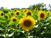 sunflower-hq-wallpapers-343