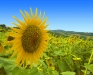 sunflower-hq-wallpapers-344