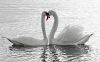 swan-hd-wallpapers-01