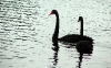 swan-hd-wallpapers-02