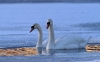 swan-hd-wallpapers-03