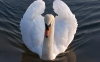 swan-hd-wallpapers-10