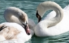 swan-hd-wallpapers-12