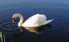 swan-hd-wallpapers-13