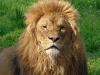 the-best-lion-wallpaper-12