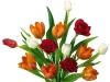 tulip-hq-pictures-and-wallpapers-500