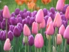 tulip-hq-pictures-and-wallpapers-501