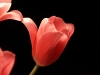 tulip-hq-pictures-and-wallpapers-506