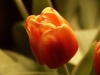 tulip-hq-pictures-and-wallpapers-507
