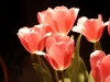 tulip-hq-pictures-and-wallpapers-510