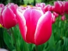tulip-hq-pictures-and-wallpapers-511