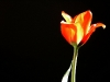 tulip-hq-pictures-and-wallpapers-525