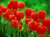 tulip-hq-pictures-and-wallpapers-526