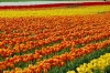 tulip-hq-pictures-and-wallpapers-528