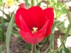 tulip-hq-pictures-and-wallpapers-529