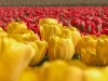 tulip-hq-pictures-and-wallpapers-531