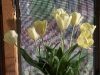 tulip-hq-pictures-and-wallpapers-535